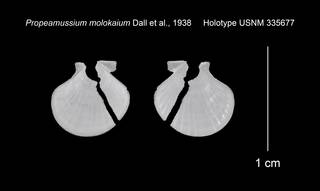To NMNH Extant Collection (Propeamussium molokaium Holotype USNM 335677)