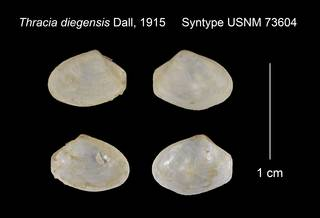 To NMNH Extant Collection (Thracia diegensis Syntype USNM 73604)