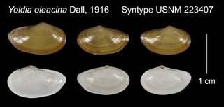 To NMNH Extant Collection (Yoldia oleacina Syntype USNM 223407)