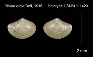 To NMNH Extant Collection (Yoldia orcia Holotype USNM 111420)