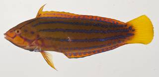 To NMNH Extant Collection (Coris marquesensis USNM 405626 photograph lateral view)