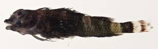 To NMNH Extant Collection (Enneapterygius rhabdotus USNM 405633 photograph lateral view)