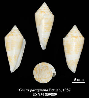 To NMNH Extant Collection (IZ MOL USNM 859889 Conus paraguana Petuch, 1987 plate)