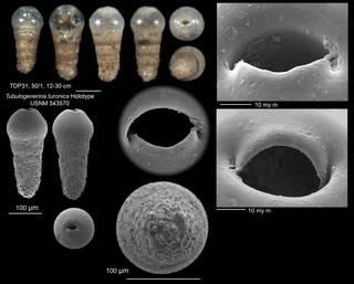 To NMNH Paleobiology Collection (Tubulogenerina turonica holo USNM 543570)