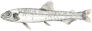 To NMNH Extant Collection (Bathylagus ochoeensis P01457 illustration)