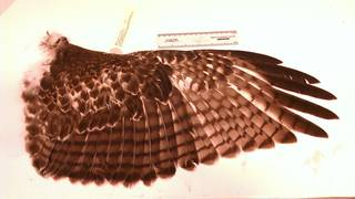 To NMNH Extant Collection (USNM 636916 Buteo jamaicensis)
