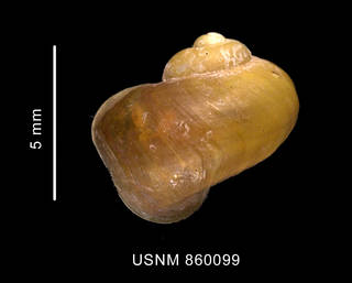 To NMNH Extant Collection (Laevilitorina labioflecta Dell, 1990, holotype, shell, dorsal view)