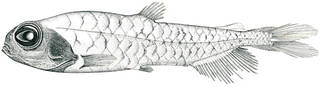 To NMNH Extant Collection (Bathylagus milleri P01455 illustration)