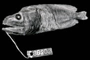 To NMNH Extant Collection (Rondeletia bicolor P06609 print)