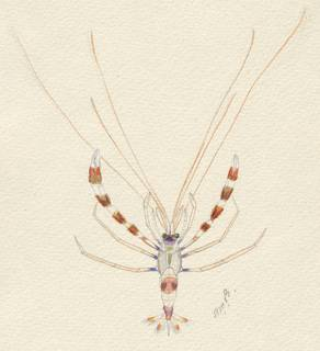 To NMNH Extant Collection (Stenopus hispidus)