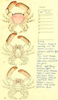 To NMNH Extant Collection (Tetralia rubridactyla)