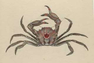 To NMNH Extant Collection (Carcinoplax indicus)
