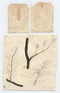 To NMNH Extant Collection (Pennaria tiarella)