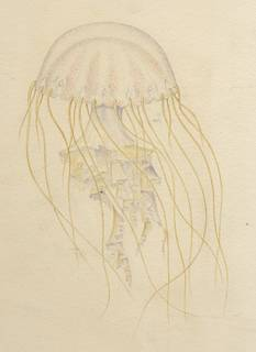 To NMNH Extant Collection (Dactylometra quinquecirrha)