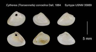 To NMNH Extant Collection (Cytherea Transennella conradina Syntype USNM 35889)