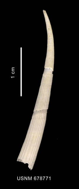 To NMNH Extant Collection (Fissidentalium majorinum Mabille et Rochebrune, 1889 lateral view)