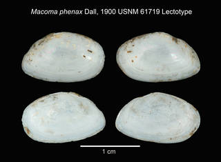 To NMNH Extant Collection (IZ MOL Macoma phenax USNM 61719 Lectotype)
