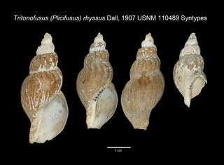 To NMNH Extant Collection (IZ MOL Tritonofusus rhyssus USNM 110489 Syntype plate Shells)