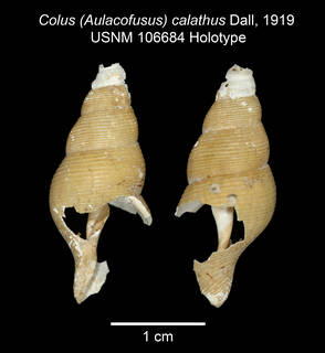To NMNH Extant Collection (IZ MOL Colus calathus USNM 106684 Holotype plate)