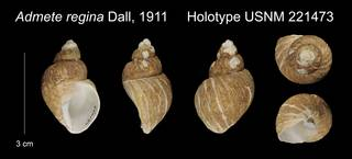 To NMNH Extant Collection (Admete regina Holotype USNM 221473)