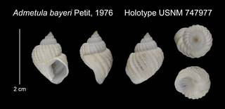 To NMNH Extant Collection (Admetula bayeri Holotype USNM 747977)