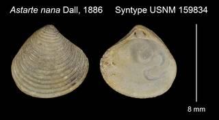 To NMNH Extant Collection (Astarte nana Syntype USNM 159834)