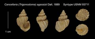 To NMNH Extant Collection (Cancellaria (Trigonostoma) agassizii Syntype USNM 93711)