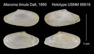 To NMNH Extant Collection (Macoma limula Holotype USNM 95619)