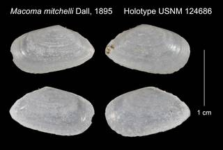 To NMNH Extant Collection (Macoma mitchelli Holotype USNM 124686)