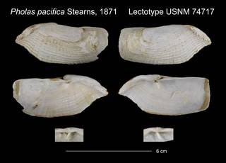 To NMNH Extant Collection (Pholas pacifica Lectotype USNM 74717)