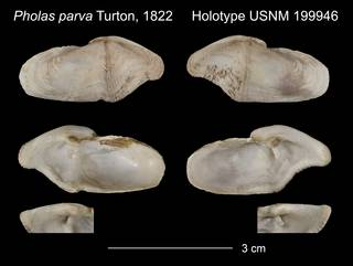 To NMNH Extant Collection (Pholas parva Holotype USNM 199946)