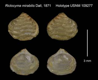 To NMNH Extant Collection (Rictocyma mirabilis Holotype USNM 109277)