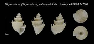 To NMNH Extant Collection (Trigonostoma (Trigonostoma) antiquata Holotype USNM 747301)
