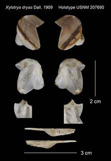 To NMNH Extant Collection (Xylotrya dryas Holotype USNM 207695)