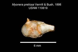 To NMNH Extant Collection (IZ MOL Myonera pretiosa USNM 110619 Holotype)