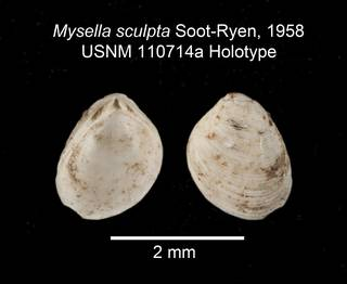 To NMNH Extant Collection (IZ MOL Mysella sculpta USNM 110714a Holotype Valve)