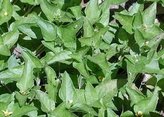 To NMNH Extant Collection (Calyptocarpusvialis2.jpg)