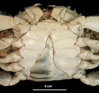 To NMNH Extant Collection (IZ USNM 1182904 ventral view)