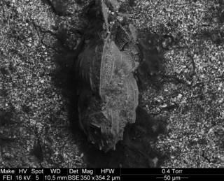 To NMNH Paleobiology Collection (Angulogerina halkyardi cc23734)