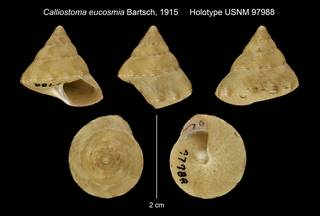 To NMNH Extant Collection (Calliostoma eucosmia Bartsch, 1915 Holotype USNM 97988)