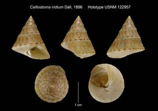 To NMNH Extant Collection (Calliostoma iridium Dall, 1896 Holotype USNM 122957)