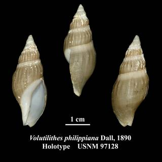To NMNH Extant Collection (Volutilithes philippiana Dall, 1890 Holotype USNM 97128)