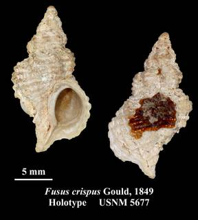 To NMNH Extant Collection (Fusus crispus Gould, 1849 Holotype USNM 5677)