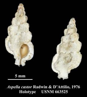 To NMNH Extant Collection (Aspella castor Radwin & D'Attilio, 1976 Holotype USNM 663525)