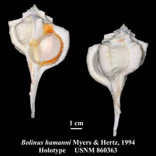To NMNH Extant Collection (Bolinus hamanni Myers & Hertz, 1994 Holotype USNM 860363)