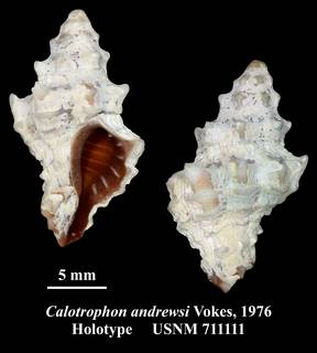 To NMNH Extant Collection (Calotrophon andrewsi Vokes, 1976 Holotype USNM 711111)