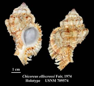 To NMNH Extant Collection (Chicoreus elliscrossi Fair, 1974 Holotype USNM 709574)