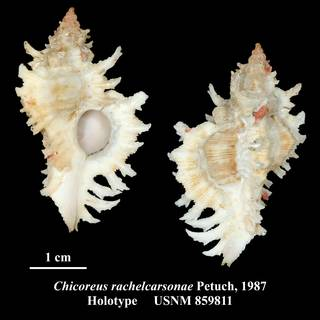 To NMNH Extant Collection (Chicoreus rachelcarsonae Petuch, 1987 Holotype USNM 859811)