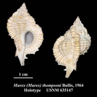To NMNH Extant Collection (Murex (Murex) thompsoni Bullis, 1964 Holotype USNM 635147)