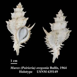 To NMNH Extant Collection (Murex (Poirieria) oregonia Bullis, 1964 Holotype USNM 635149)